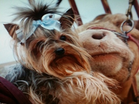 beautiful teacup yorkie, texas, yorkie breeder, yorkie stud