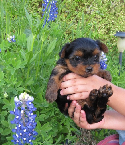 texas - bluebonnets - yorkies - gold - baby doll - puppy