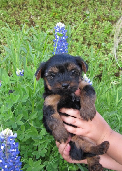 puppy - female - yorkshire terrier - yorkies