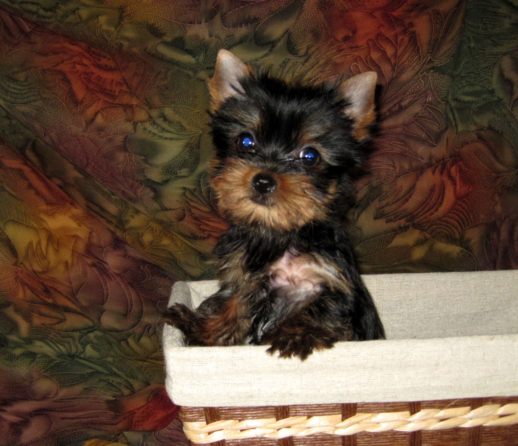 Yorkshire Terrier Puppies For Sale | Teacup Yorkie Puppies