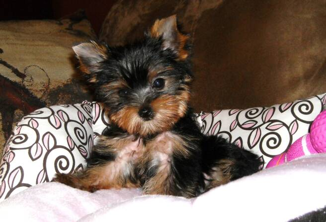 tiny angels - puppies for sale - pink - bella - beautiful