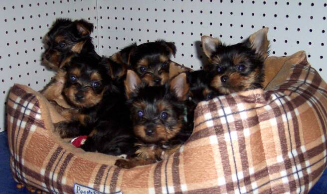 yorkshire terrier breeder - bed - litter - yorkies
