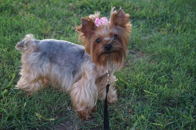Teacup Yorkie Puppies | Yorkie Breeder | Yorkshires for Sale