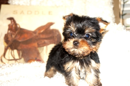 Availablepups Texas Breeder