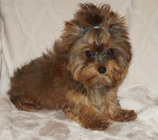 24 karat magic gold teacup yorkie, parti yorkie, tiny yorkie stud