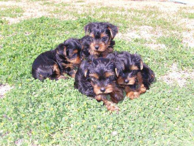 Blake Moeller - Lucchese Punchy Lady Litter - Four - Teacup Yorkies