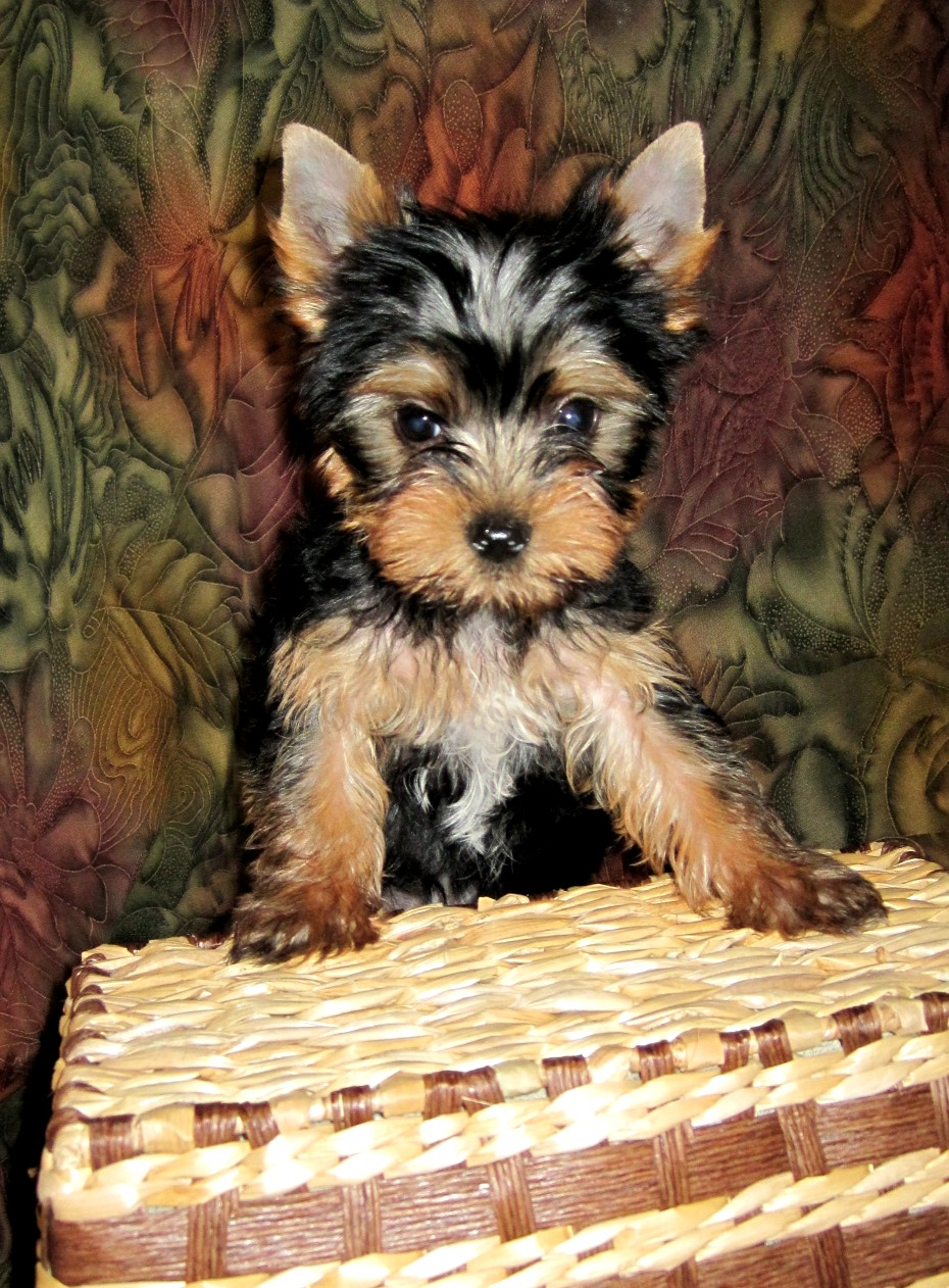 cheap yorkshire terriers for sale