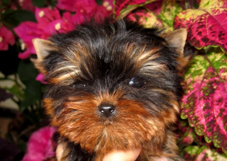 yorkies for sale in Texas, Austin, Texas, Midland,  The Woodlands