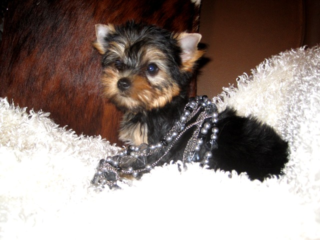 Teacup Yorkie Puppies Yorkie Breeder Yorkshires For Sale