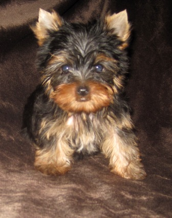 tiny texas teacup male, honest teacup parti yorkies, golden teacups,