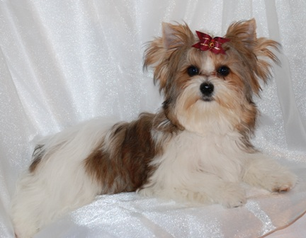 best parti yorki in texas, texas yorkie breeder