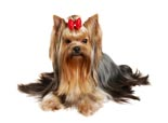 AKC yorkshire terriers for sale