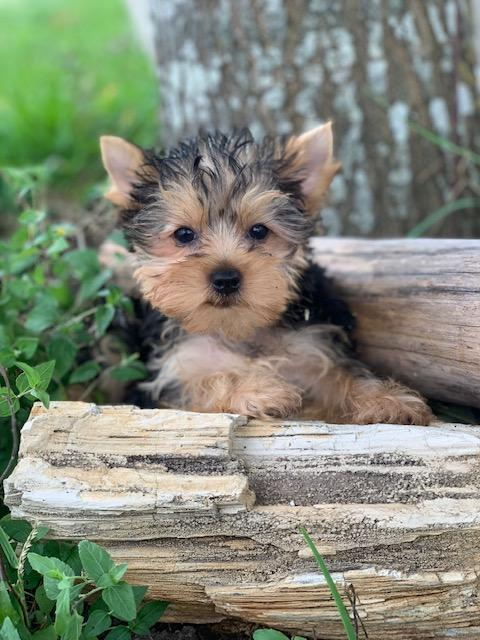 adorable yorkie babies, texas party pups
