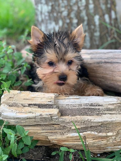 baby doll faced yorkie, puppies for sale, teacup dogs, buy a full blood pup, blue and gold yorkies, champion yourkie