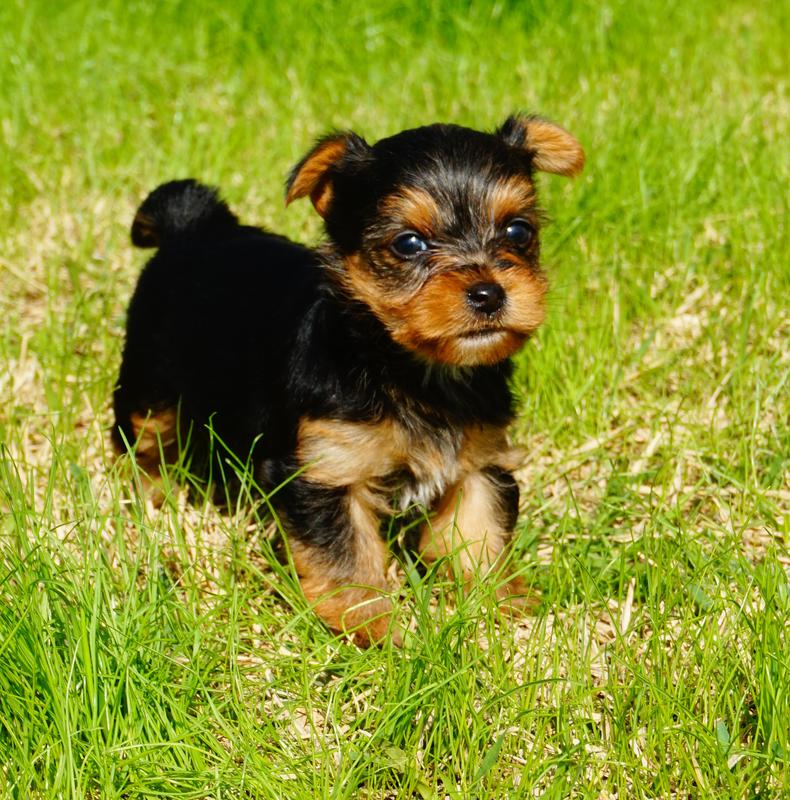 Teacup Puppies, Teacup Puppies For Sale, Teacup Puppy Breeder, Teacup Puppies Texas,  teacup dogs,Tiny Teacup puppies for sale, Tiny Teacups, Micro Teacup Puppies,   Teacup with baby doll faces, Teacup Yorkies, Teacup, Texas Teacups,  Standard size yorkies, Teacup Yorkshire Terriers, Houston, Austin, Texas. Most Beautiful Teacup puppies for sale, teacup puppies, Teacup puppies for sale, Best teacup puppies are available here on this website.  We have super tiny teacup puppies available now.. Teacup Puppies for Sale in Texas.