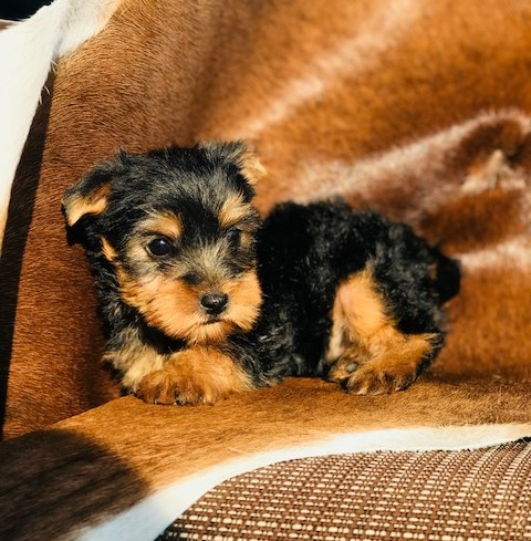 teacup yorkie male, Odessa yorkie breeder, sponge bob square pants, new family adding a puppy, best breeds of 2018, College Station yorkie breeders, darling yorkie puppies for sale, AKC yorkshire terriers for sale