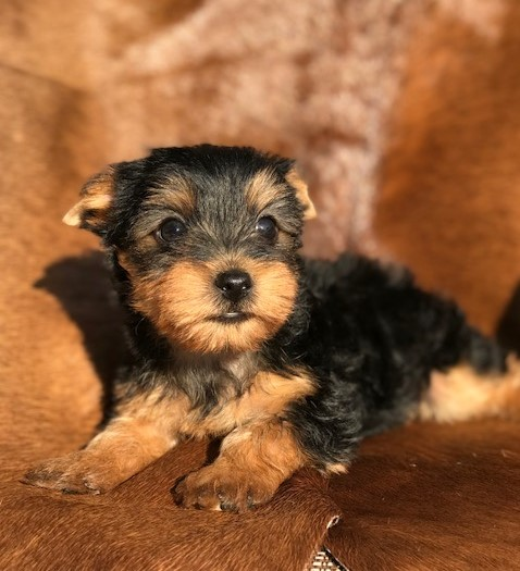 breeders near the woodlands,teacup yorkie male, Odessa yorkie breeder, sponge bob square pants, new family adding a puppy, best breeds of 2018, College Station yorkie breeders, darling yorkie puppies for sale, AKC yorkshire terriers for sale