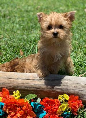 gorgeous yorkshire terrier puppies, austin texas yorkies, hoeshoe bay yorkie breeders, woodlands texas yorkie breeders,