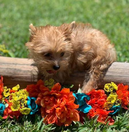 gold sable puppies, akc standard babies for sale, texas best breeder list,