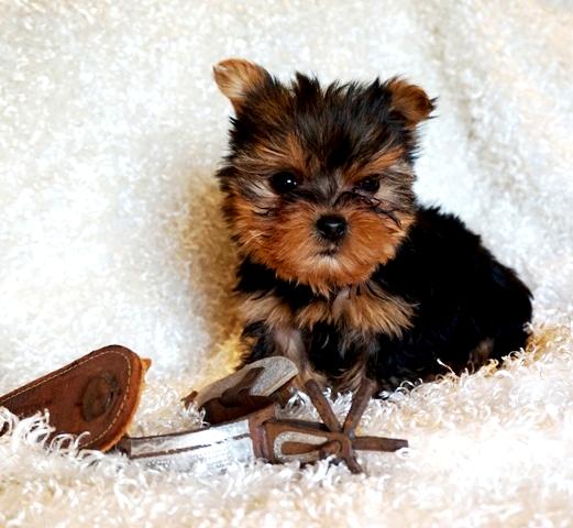 Teacup Yorkie Puppies Yorkie Breeder Yorkshires For Sale