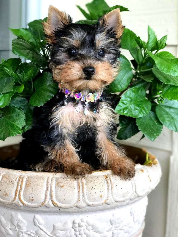 yorkie breeders near Odessa, yorkie teacups, yorkshire terriers near Pecos texas, yorkies near Lubbock Texas, standard yorkies, bab doll faces,
