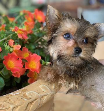 yorkie gold sable puppy, honest texas yorkie breeder, parti yorkie, teacup yorkies