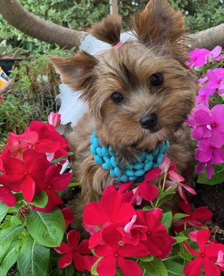 Teacup Yorkie Puppies | Yorkie Breeder | Yorkshires for Sale