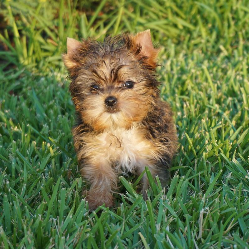 Odessa yorkie breeder, sponge bob square pants, new family adding a puppy, best breeds of 2018, College Station yorkie breeders, darling yorkie puppies for sale, AKC yorkshire terriers for sale