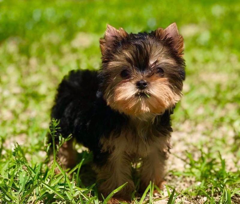 Teacup Yorkie Puppies Breeder